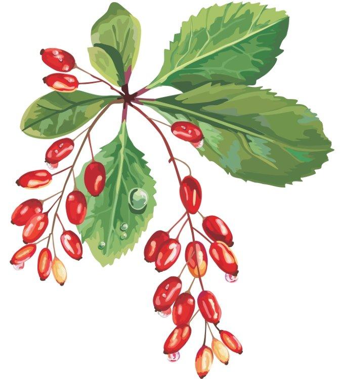 отзывы про сироп мангустина